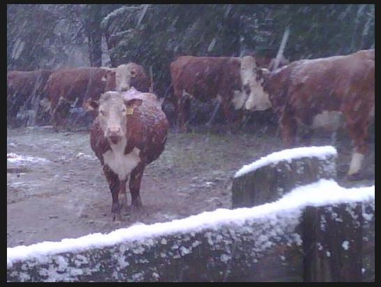 Charlie Daniels - cows