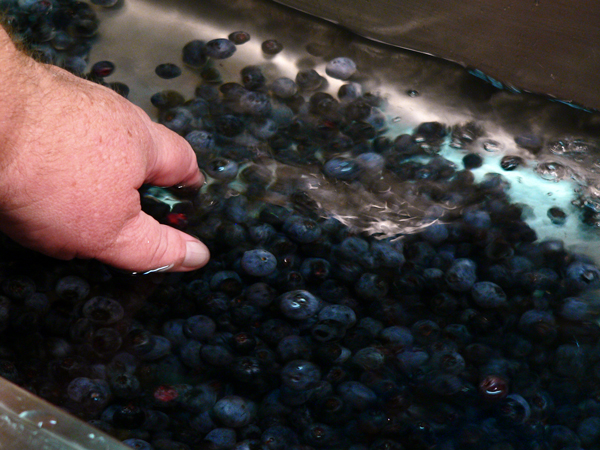 Blueberry Jam, wash the berries.