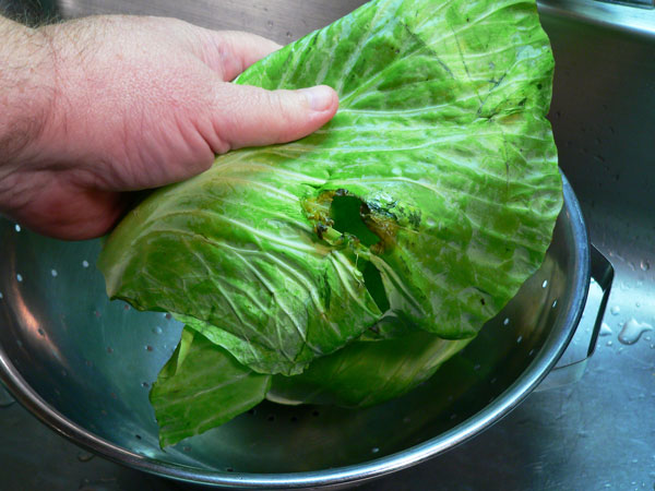 Cabbage Casserole, remove any old or bad leaves.